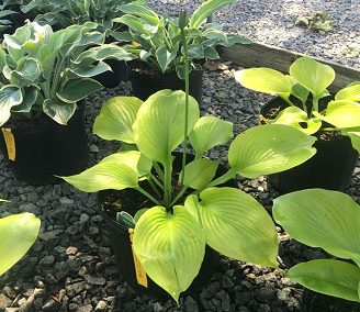 Hosta, Sum & Substance